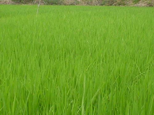 『いこ肥料』を田んぼの有機肥料として使用した様子